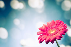 Flower on shiny bokeh background Royalty Free Stock Photo