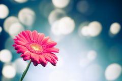 Gerbera flower on shiny bokeh background Stock Photo