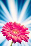 Flower on shiny rays background Stock Photography