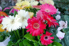 Gerbera in a flower shop Royalty Free Stock Photo