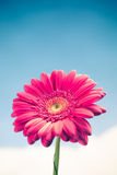 Gerbera flower on sky background Royalty Free Stock Images