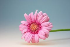 Gerbera flower thank you card Royalty Free Stock Photos