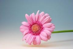 Gerbera flower thank you card Royalty Free Stock Photos