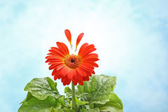 Gerbera flower with two petals flying  on light blue Royalty Free Stock Image