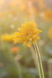 Gerbera flower under the morning sunlight Stock Photography