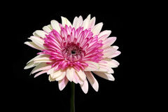 Gerbera flower. Gerbera is very popular and widely used as a decorative garden plant or as cut flowers. The domesticated cultivars are mostly a result of a cross Royalty Free Stock Image
