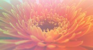 Gerbera flower wallpaper. Stock Photography