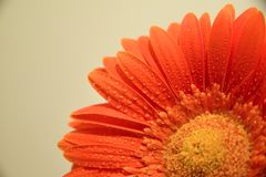 Gerbera flower with water droplets stock photography