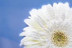 Gerbera Flower in water drops Royalty Free Stock Photos