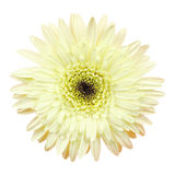 Gerbera flower on white background Stock Image