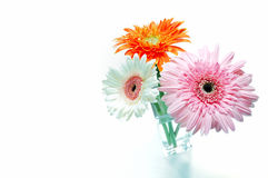Gerbera flower with white background Royalty Free Stock Photography