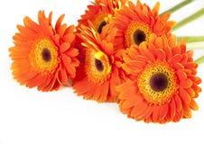 Gerbera flower  on white background Stock Photo