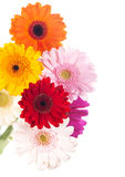 Gerbera flower  on white background Royalty Free Stock Images