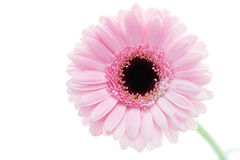 Gerbera flower Royalty Free Stock Photo