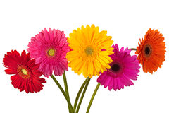 Gerbera flower on white Royalty Free Stock Photography