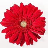 The gerbera flower on white whith drops Stock Photography