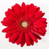 The gerbera flower on white Stock Image