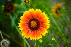 Gerbera flower in wildlife stock image