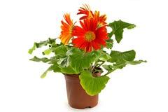 Gerbera in a flowerpot Royalty Free Stock Photo