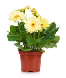 Gerbera in flowerpot Royalty Free Stock Photography