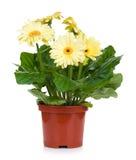 Gerbera in flowerpot Royalty Free Stock Photography