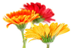 Gerbera flowers Stock Image