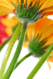 Gerbera flowers royalty free stock images