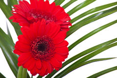 Gerbera flowers Stock Images