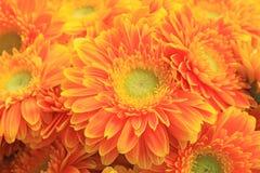 Gerbera flowers Stock Images