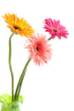 Gerbera flowers royalty free stock photo