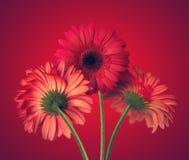 Gerbera flowers Royalty Free Stock Image
