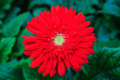 Gerbera flowers. Against green natural background Royalty Free Stock Photos