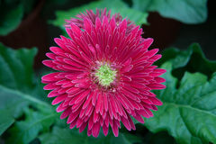 Gerbera flowers. Against green natural background Royalty Free Stock Photo
