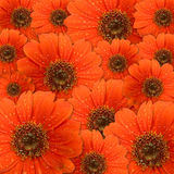 Gerbera flowers background Stock Images