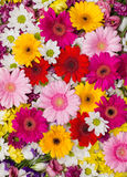 Gerbera flowers background Stock Image