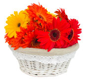 Gerbera flowers in basket Stock Image