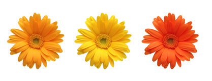 Gerbera flowers of bright colors isolated on white Stock Image