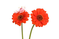 Gerbera flowers with butterfly on white Stock Images