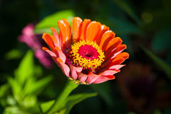 Gerbera Stock Photo