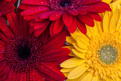 Gerbera flowers close up Royalty Free Stock Photos