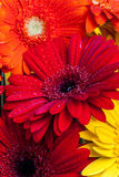 Gerbera flowers close up Stock Photos