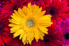 Gerbera flowers close up Royalty Free Stock Images