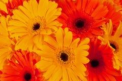 Gerbera flowers closeup Royalty Free Stock Photos