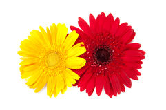 Gerbera flowers Stock Photos
