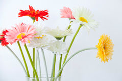 Gerbera Flowers for decoration Stock Photo