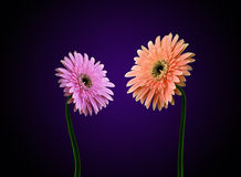 Gerbera flowers dialog. Gerbera flowers in pink and peach color Royalty Free Stock Photos
