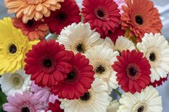 Gerbera flowers of different shapes and colors close-up royalty free stock photo