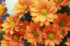 Gerbera flowers in the garden Stock Photos