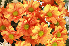Gerbera flowers in the garden Stock Image