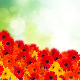 Gerbera flowers in garden Royalty Free Stock Photography